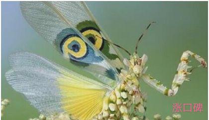 世界上最稀有的螳螂,魔花螳螂外表艳丽,雌性很少杀夫