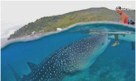 世界上最大的鱼,鲸鲨体长可达20米,性格温和不吃人