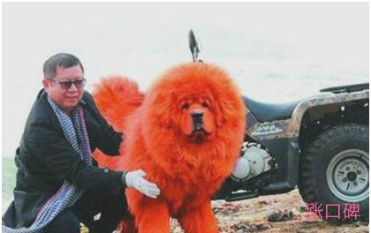 世界上最贵的狗,纯红藏獒被人以1580多万的高价购下