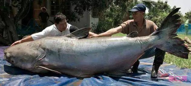 世界最大的鱼Top10 鲸鲨以重47000磅排第一!