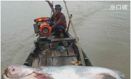 世界上最大的淡水鱼,湄公河巨鲶体长近3米,最终成为盘中餐