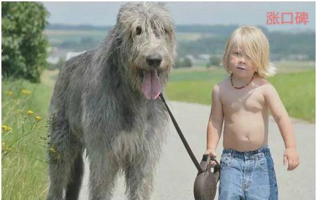 世界上最高的狗,爱尔兰猎狼犬身高接近一米,能狩捕野狼