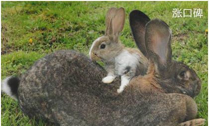 世界上最大的兔子,体长1.22米,每年食物开支达2.5万元